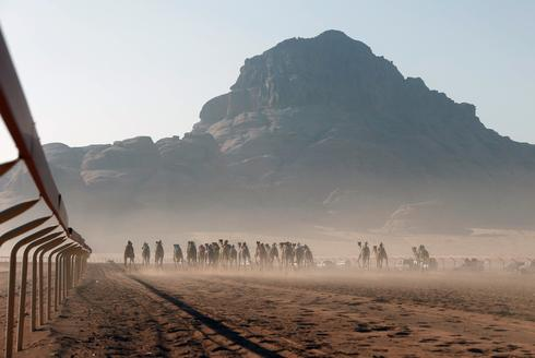 Racing camels in Jordan