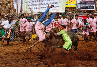 Jallikattu: Taming the bull