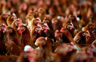 File photo of cage free hens at an egg farm