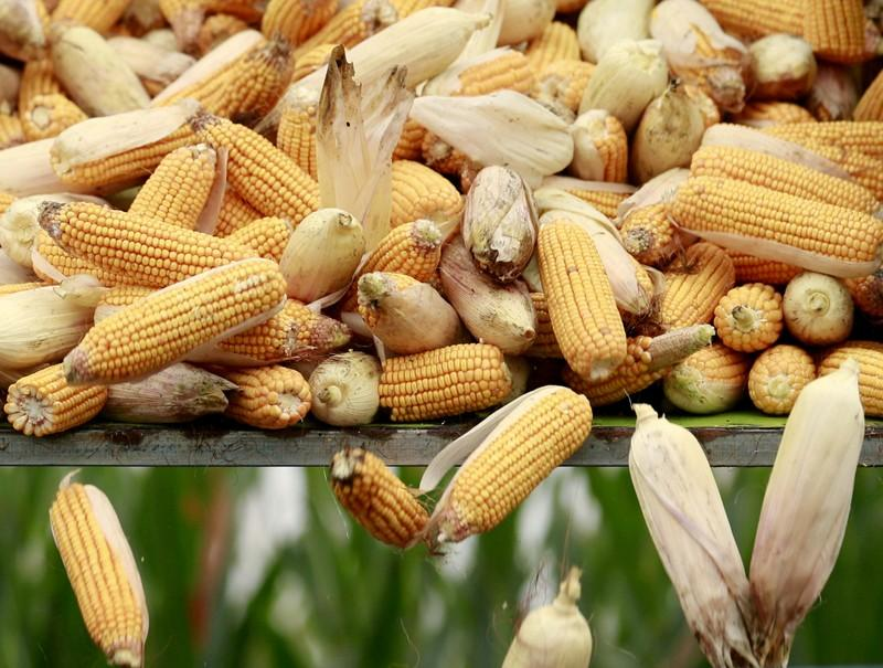 China traders cancel U S  corn cargoes on tighter GMO