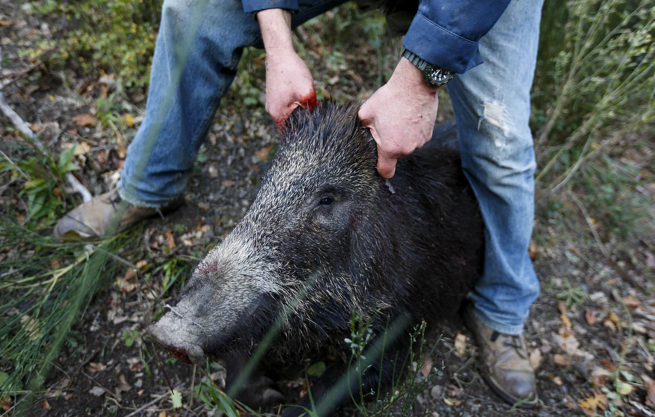 germany gives free rein to boar hunters to contain swine fever risk