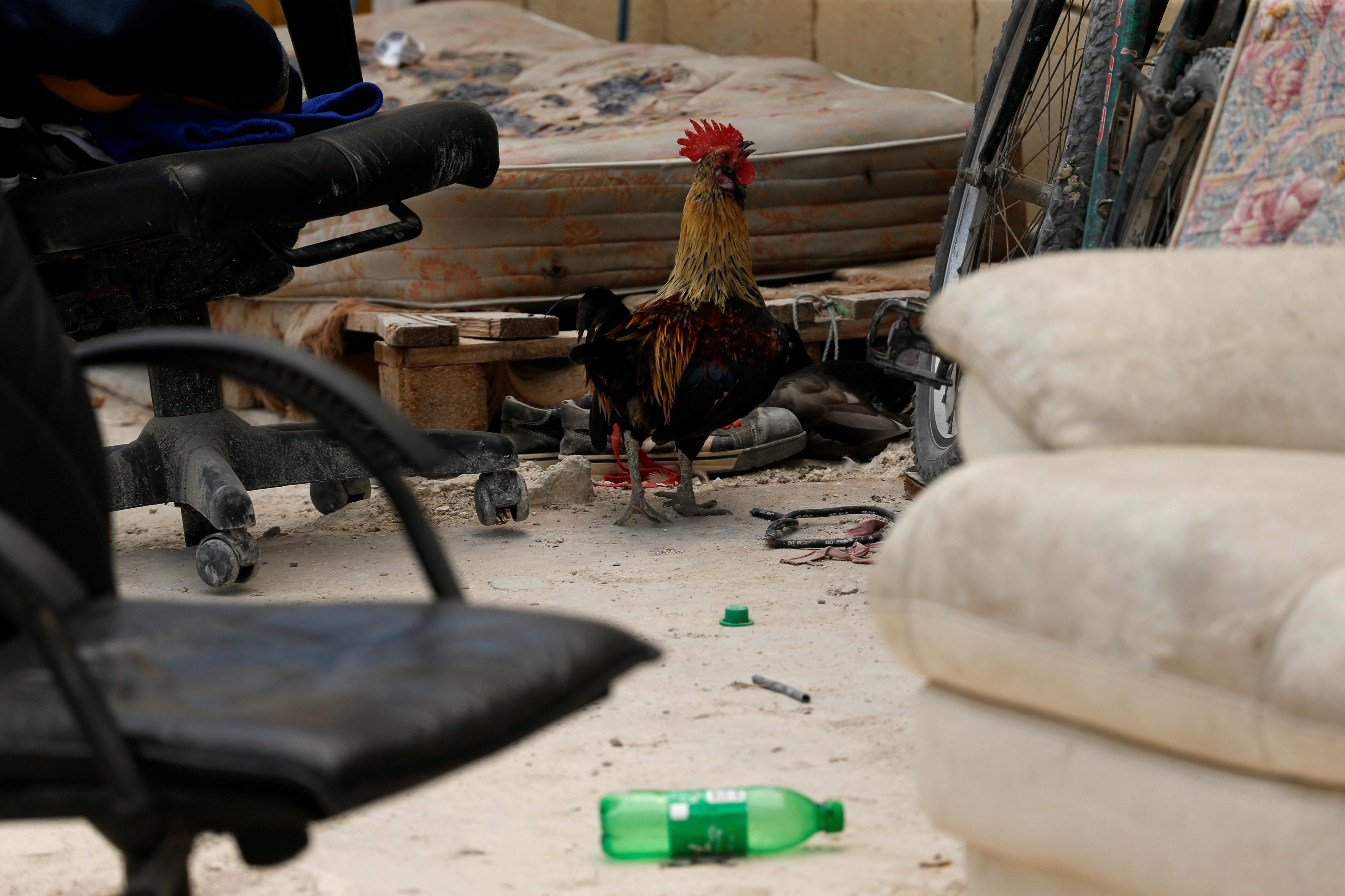 A rooster walks among migrants' possessions and furniture on a farm where police evicted some 110 African migrants who had been living in stalls formerly used by cows, in Qormi, Malta August 13, 2018.  Darrin Zammit Lupi