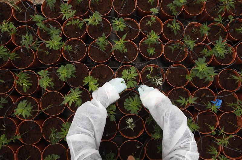 A worker tends to cannabis plants at a plantation near the northern Israeli city of Safed June 11, 2012. Baz Ratner