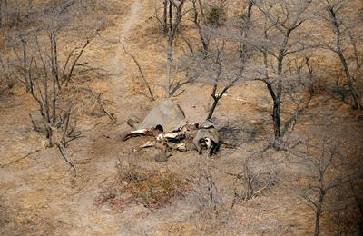 Dozens of dead elephants discovered in Botswana
