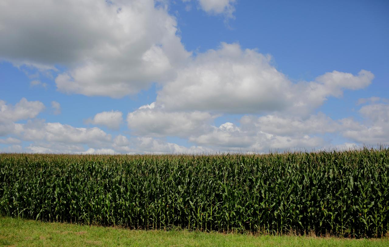 Toxin in U S  corn harvest poses latest headache for farmers