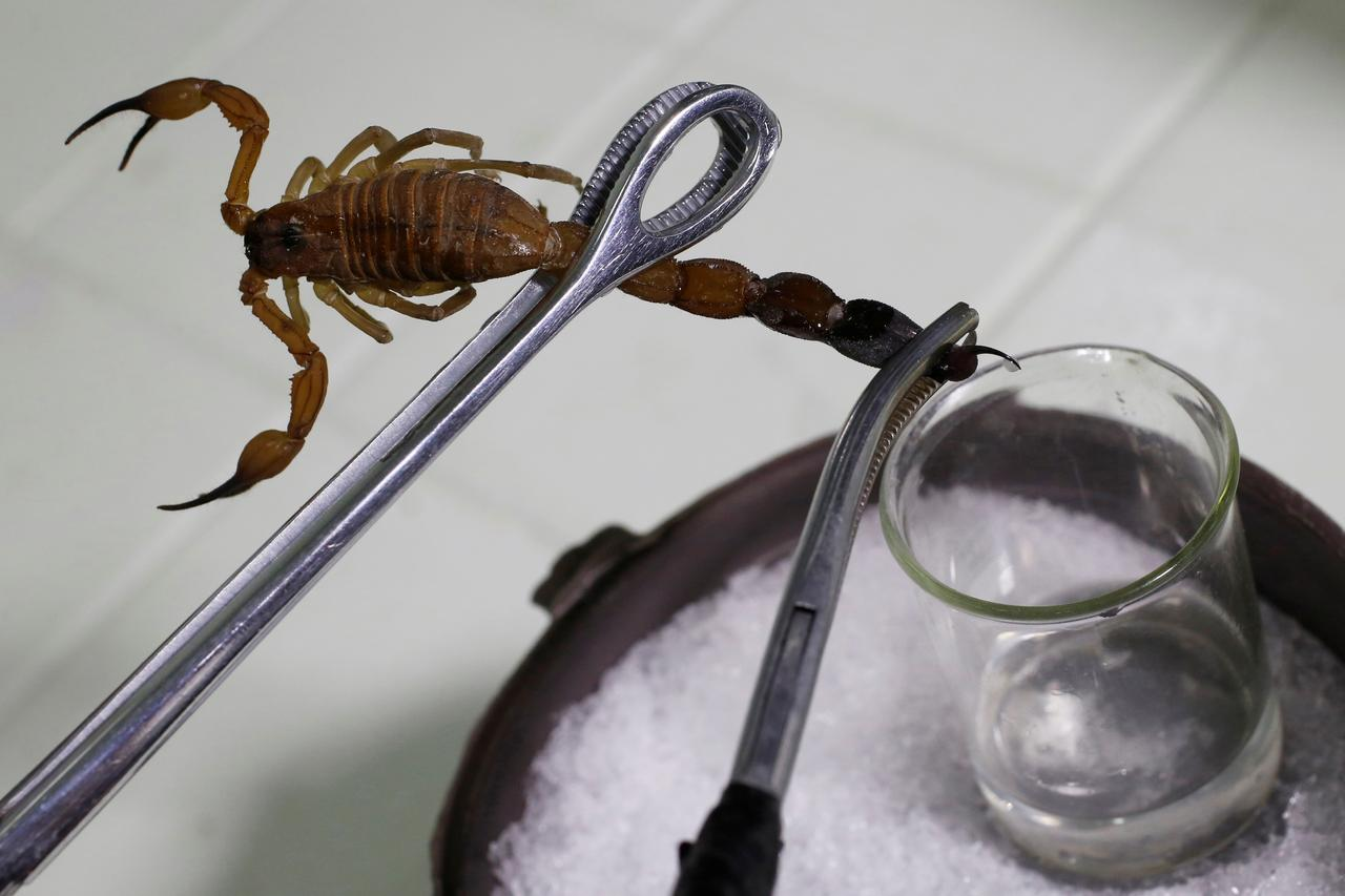 Worth the sting: Cuba's scorpion pain remedy - Reuters