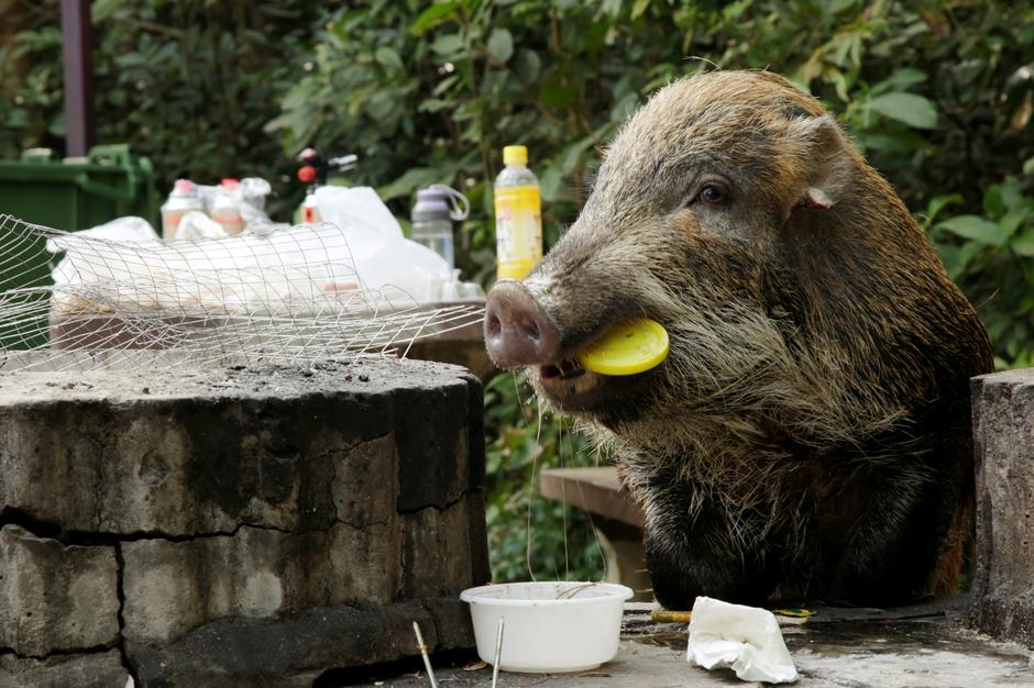 Reuters Reported Hong Kongs Wild Boar Dilemma In The Chinese New