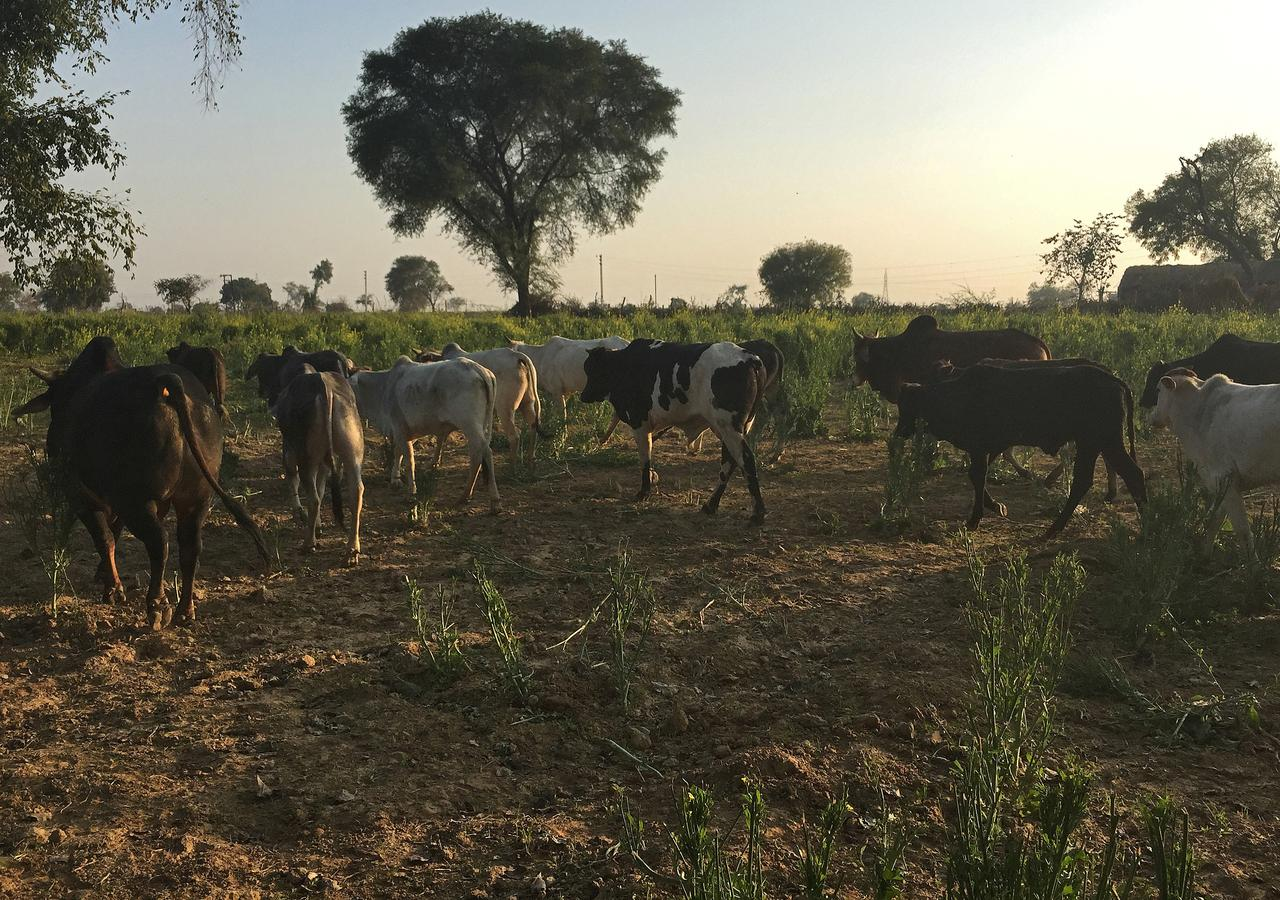 Stray Cows Add To Modis Farmer Woes As Indian Election