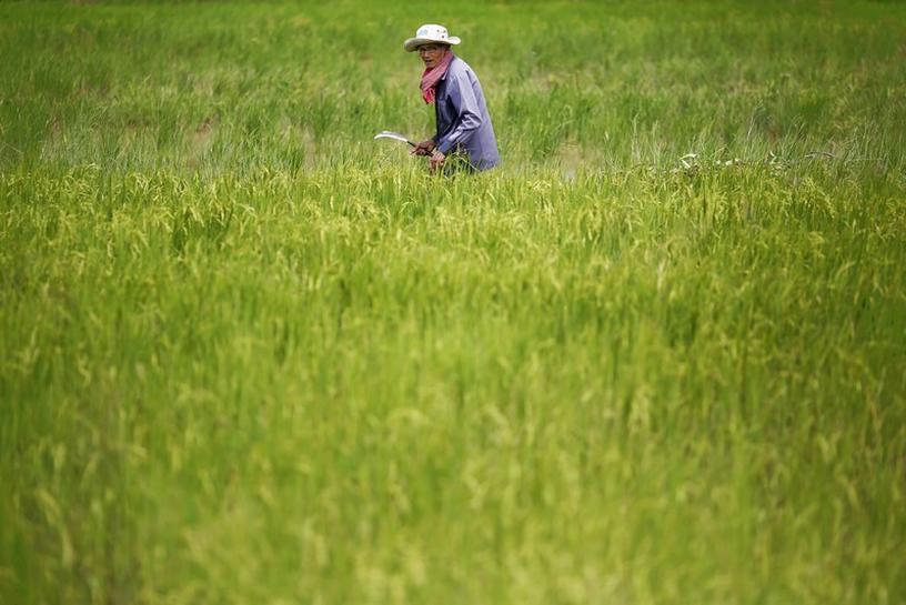Cambodian rice exports to China surge following EU tariffs - Reuters