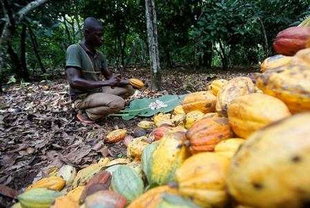 Ivorian cocoa farmers hope for more rain to boost mid-crop