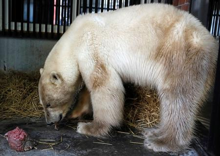 Lost polar bear taken to Siberian zoo to be treated