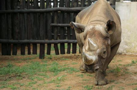 Rwanda's rhino population grows, tourists expected to increase
