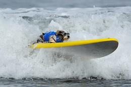 Brave pooches hang eight in California surfing contest