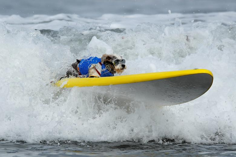 A small dog competes in the 14th annual Helen Woodward Animal Center 'Surf-A-Thon' where more than 70 dogs competed in five different weight classes for 'Top Surf Dog 2019' in Del Mar, California, September 8, 2019. REUTERS/Mike Blake