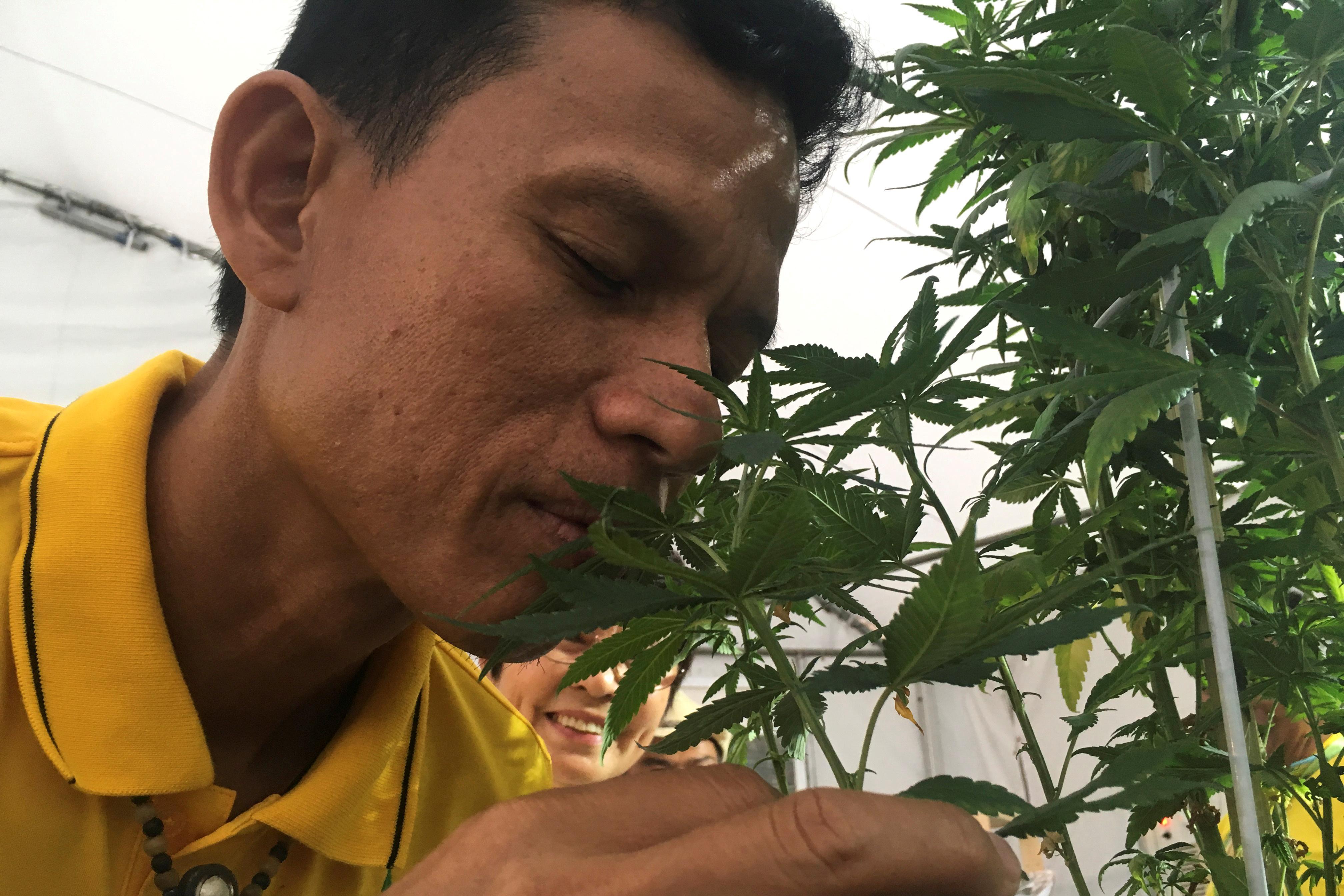 Thais allowed six cannabis plants per household under draft law