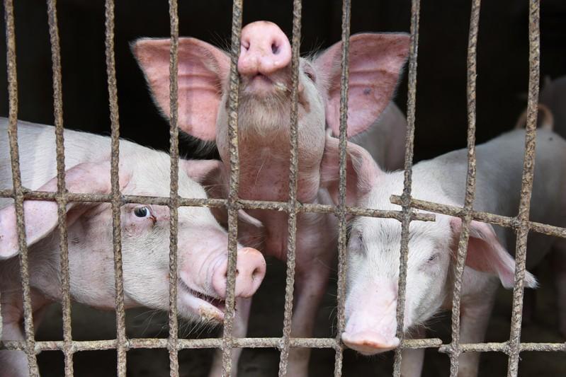 Breakingviews - Pig crisis gives China a shot at transparency