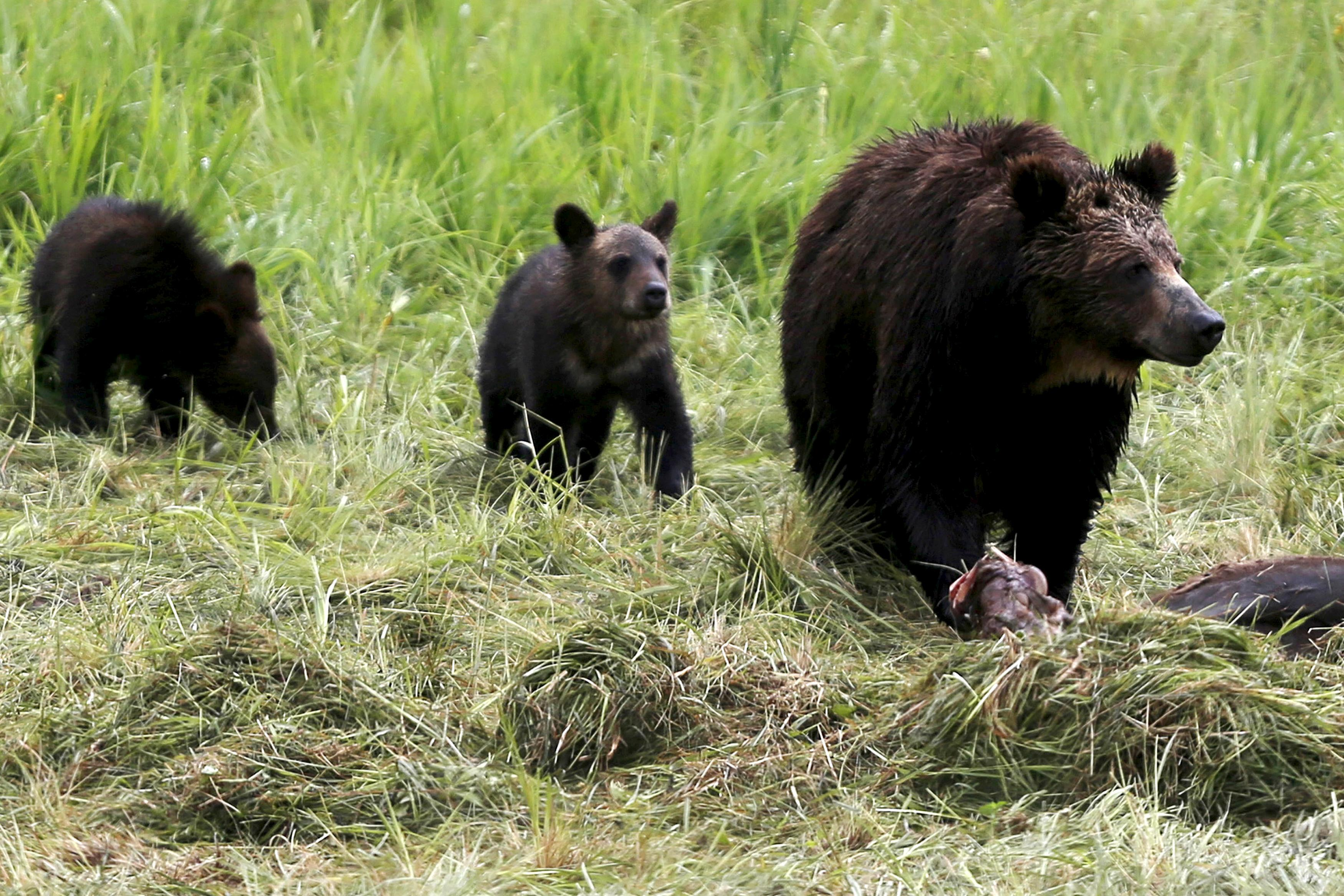 A grizzly bear and her two cubs approach the carcass of a bison in Yellowstone National Park in Wyoming, United States, July 6, 2015. Jim Urquhart