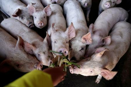 China flies in 900 Danish breeding pigs to replenish herd