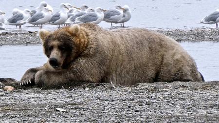 Alaska's Fat Bear contest crowns Holly `Queen of Corpulence'