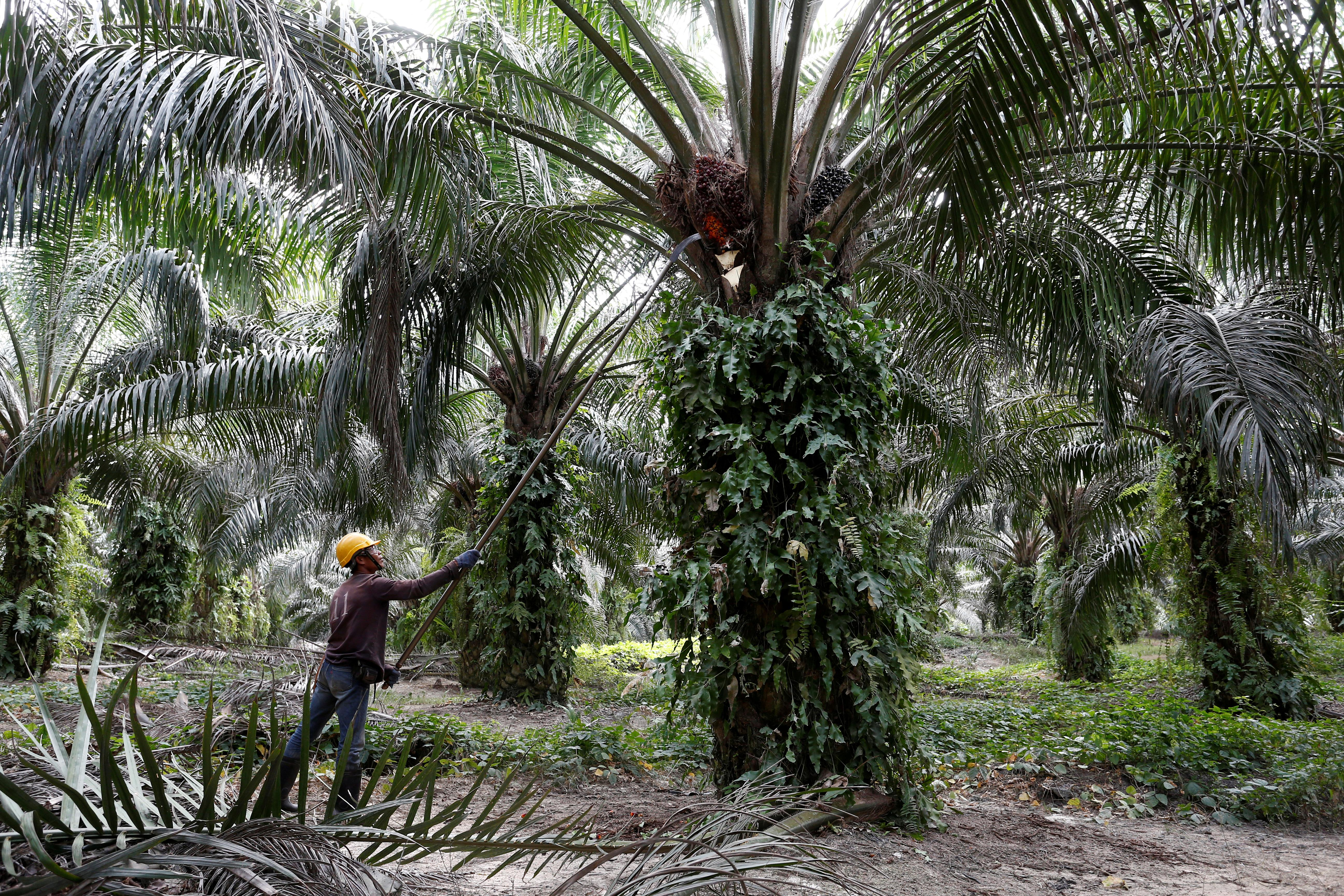 Indian buyers slash Malaysian palm oil purchases fearing duty hike...