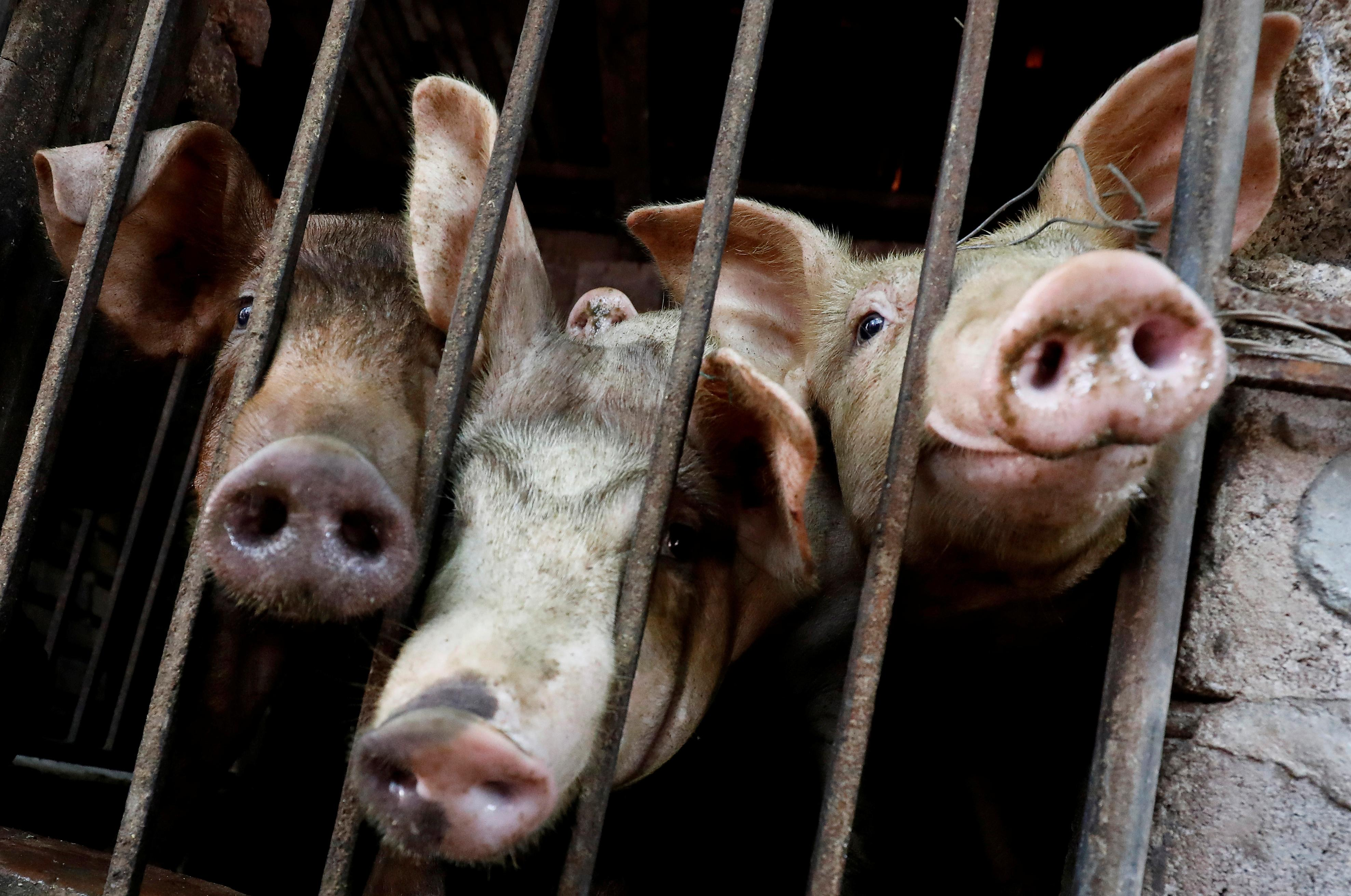Vietnam says African swine fever outbreak slows, urges farmers to...