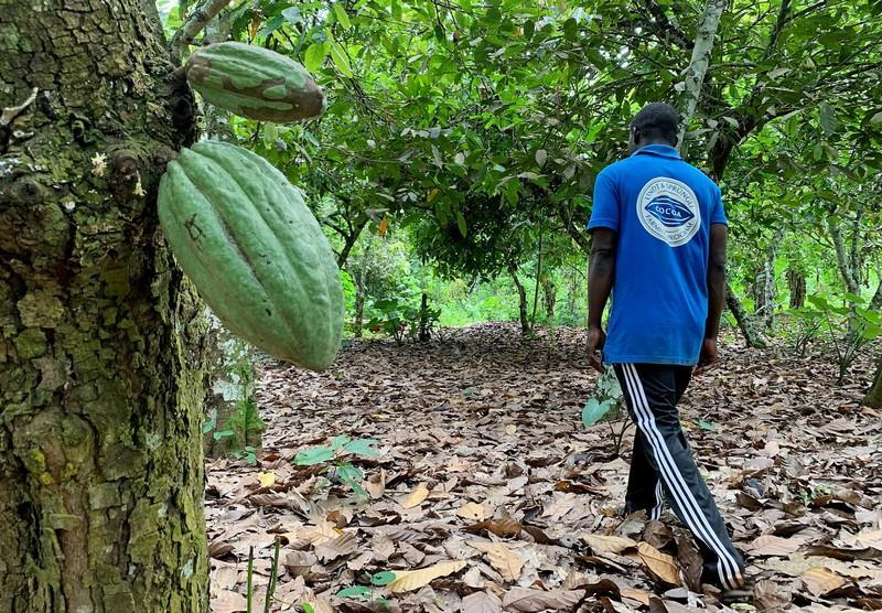 Ivory Coast, Ghana lift threat to cocoa sustainability schemes