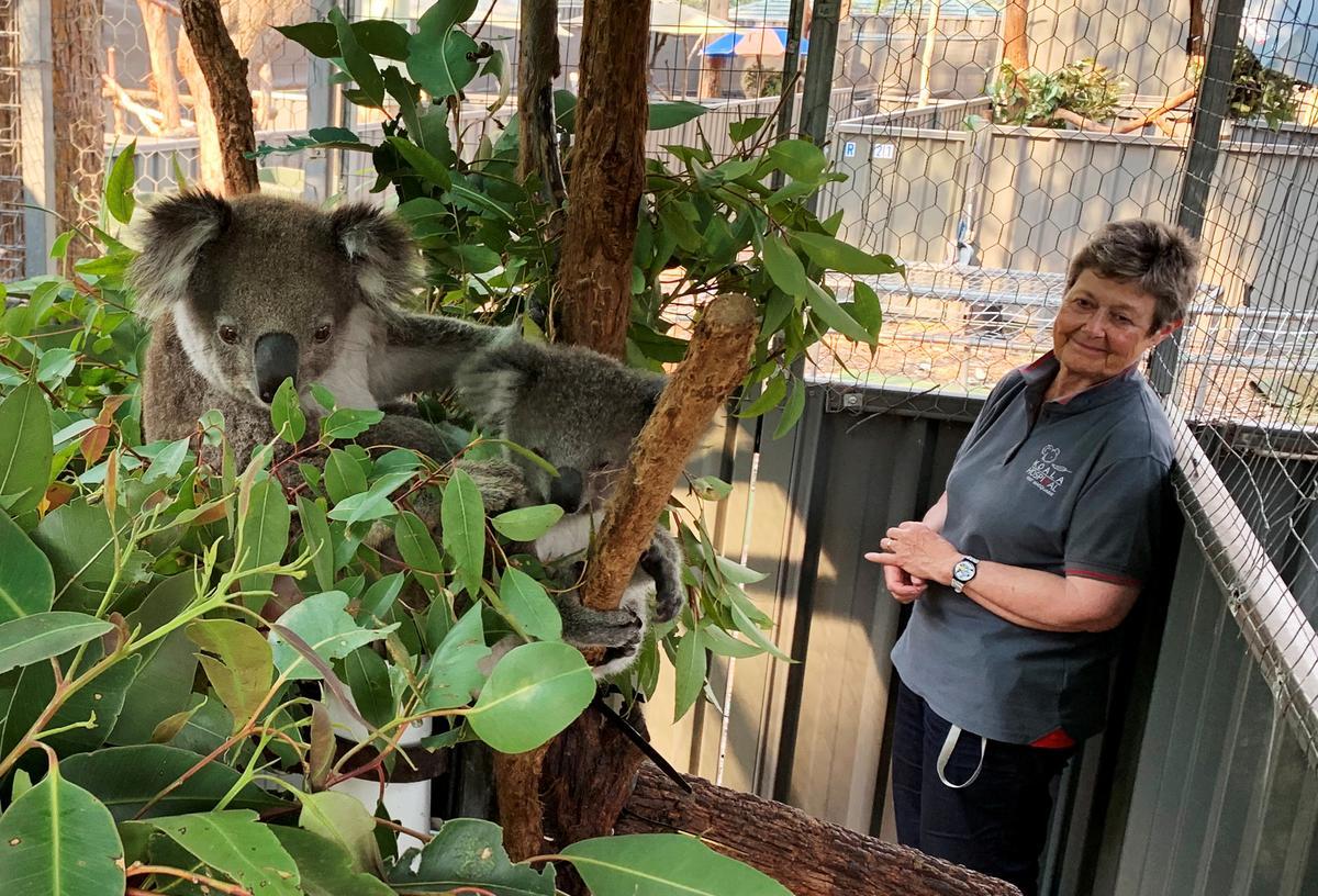 Australian bushfires wipe out half of koala colony, threaten more