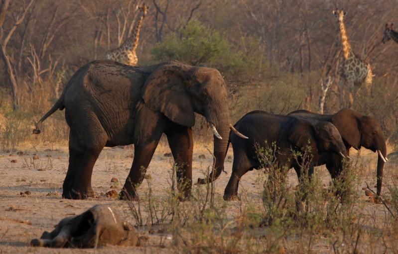 Dought-hit Zimbabwe readies mass wildlife migration