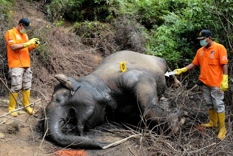 Two critically endangered elephants found dead in a week in Indonesia