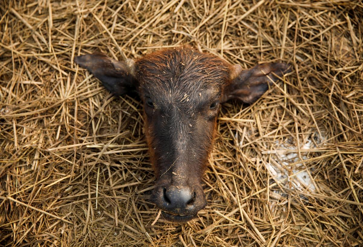 Thousands of animals sacrificed in Nepal Hindu ritual amid outcry