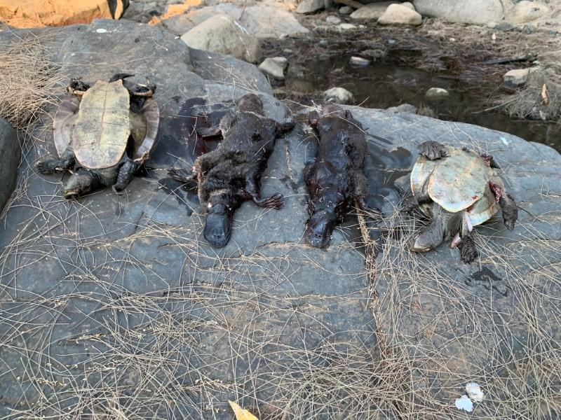 Australia's platypus fights for survival amid prolonged drought