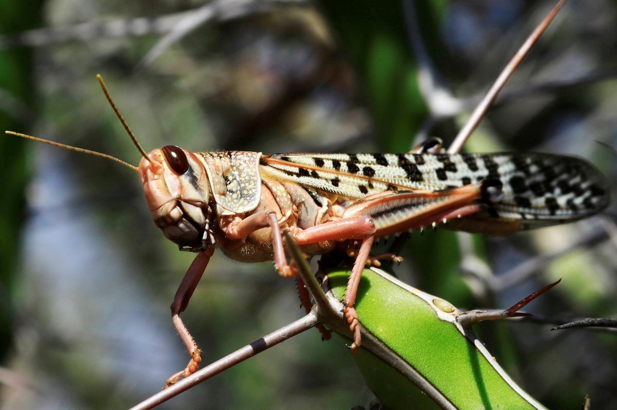 India buys drones, specialist equipment to avert new locust attack