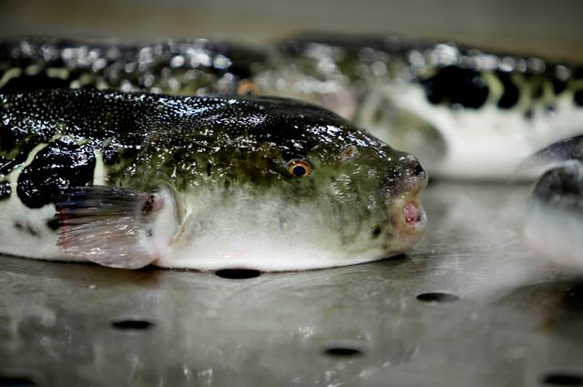 FILE PHOTO: A pufferfish is set to be auctioned at an early morning fish auction in Shimonoseki, Japan February 7, 2020. REUTERS/Sakura Murakami
