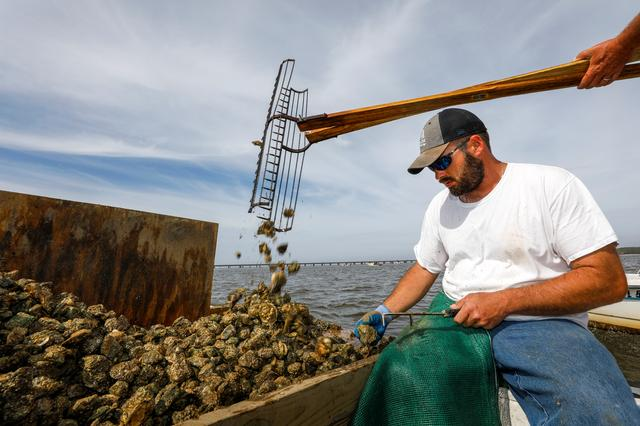 Michael Dasher, Jr., measures and culls oysters as his father opens his tongs and drops shellfish pulled from the bottom of Apalachicola Bay on to the culling board next to him as they work in Apalachicola Bay off Eastpoint, Florida, U.S. February 11, 2020. Picture taken February 11, 2020.  REUTERS/Colin Hackley