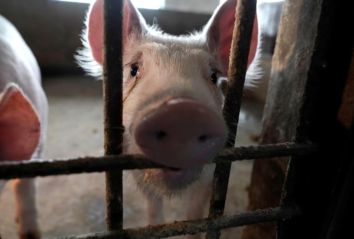 Special Report: Before coronavirus, China bungled swine epidemic with secrecy