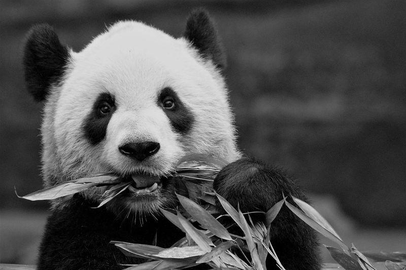 Pandas to return to China as Canada zoo runs short of bamboo during pandemic