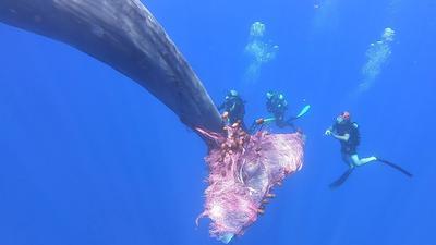 Italian coastguard struggle to free sperm whale from fishing net