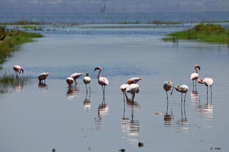 Long-Missed Pink Flamingos Return To Kenya's Lake Nakuru